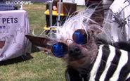 رقابت زشتترین سگهای دنیا!